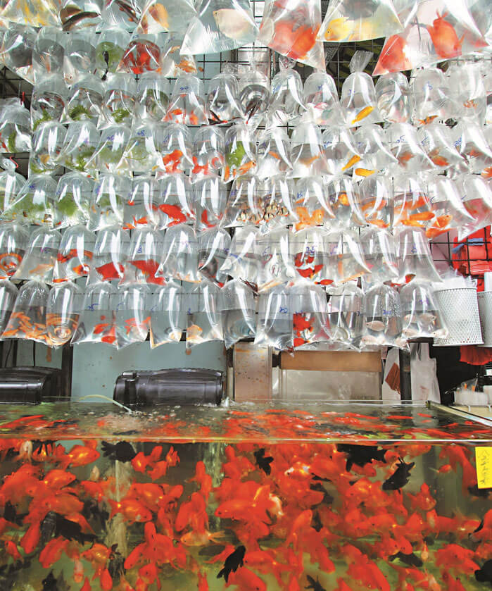 Goldfish Market for Shopping in Mongkok Hong Kong
